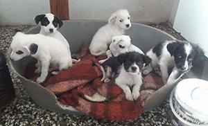 græske hunde til adoption